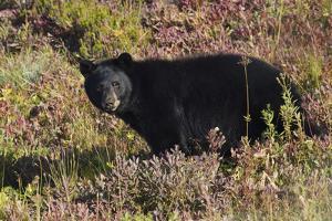 Black bear autumn huckleberry by Ken Archer