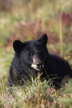 Black Bear, Early Autumn by Ken Archer