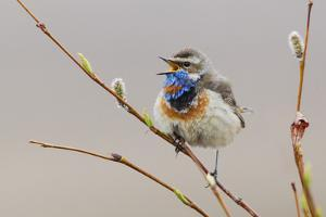 Bluethroat Singing by Ken Archer