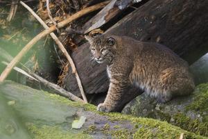 Bobcat, stalking salmon from log jam by Ken Archer