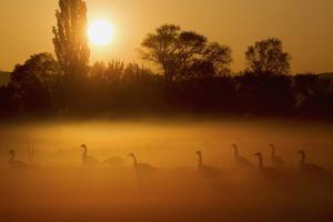 Canada Geese, Misty Dawn by Ken Archer