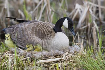 Canada Goose on Nest with Newly Hatched Goslings