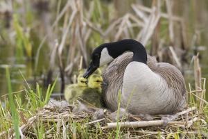 Canada goose tending newly hatched goslings. by Ken Archer