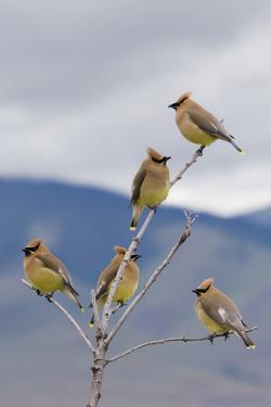 Cedar Waxwing Flock by Ken Archer