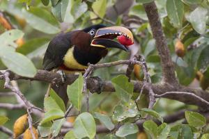 Chestnut-eared Aracari with meal by Ken Archer
