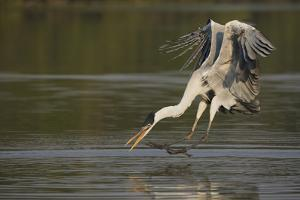 Cocoi Heron pouncing by Ken Archer
