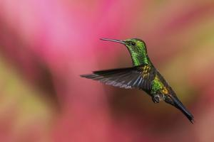 Copper-Rumped Hummingbird by Ken Archer