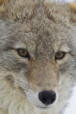 Coyote close-up by Ken Archer