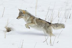 Coyote hunting rodents in the snow, Yellowstone National Park by Ken Archer