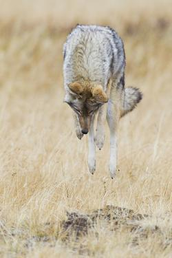 Coyote hunting by Ken Archer