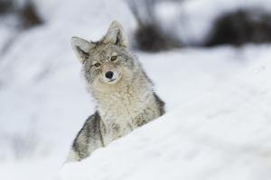 Coyote in winter by Ken Archer