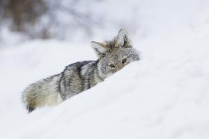 Coyote on a winter hunt by Ken Archer