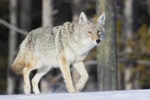 Coyote on the Move by Ken Archer