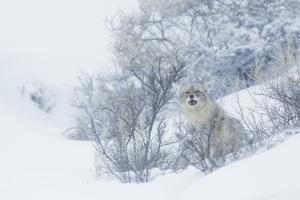 Coyote, winter hiding spot by Ken Archer