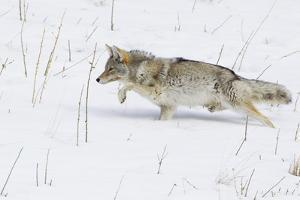 Coyote, Winter Stalking by Ken Archer