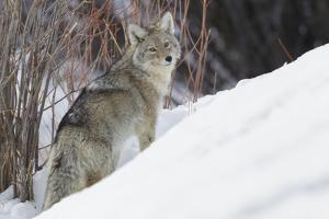 Coyote, Winter Survival by Ken Archer