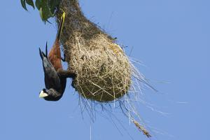 Crested oropendola hanging on side of nest by Ken Archer