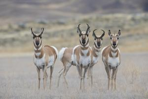 Curious young pronghorns. by Ken Archer