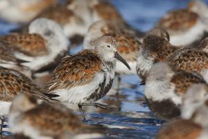 Dunlin flock resting during migration by Ken Archer