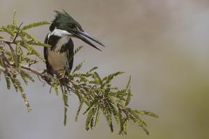 Female Amazon kingfisher by Ken Archer