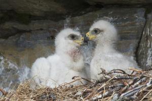 Golden Eagle chicks by Ken Archer
