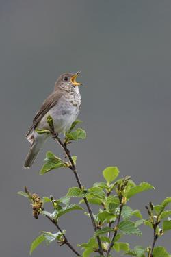 Gray-cheeked Thrush territorial song by Ken Archer