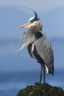 Great Blue Heron, Attempting to Preen on a Windy Day by Ken Archer