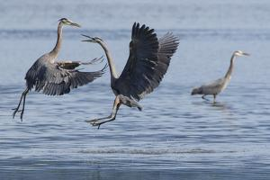 Great Blue Herons fighting over fishing spot by Ken Archer