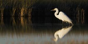 Great Egret by Ken Archer
