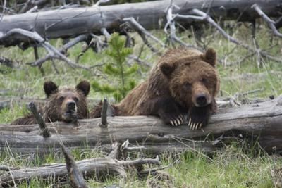 Grizzly Bear Sow and Cub by Ken Archer