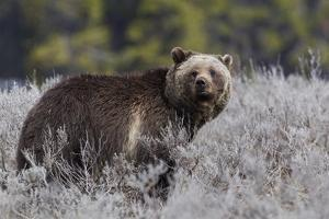 Grizzly Bear by Ken Archer
