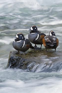 Harlequin Drakes Resting in Fresh Water Rapids by Ken Archer