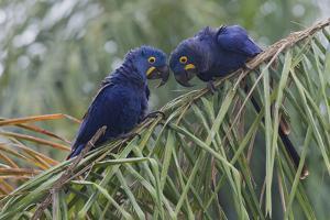 Hyacinth Macaw pair by Ken Archer