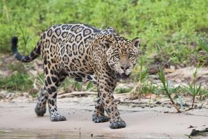 Jaguar on the prowl by Ken Archer