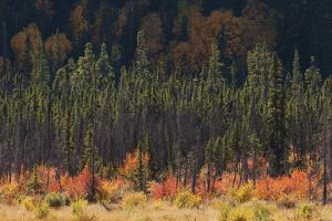 Jasper National Park, Autumn Boreal Forest by Ken Archer