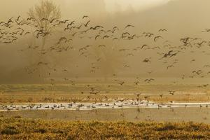Large flock of ducks and geese taking flight. by Ken Archer