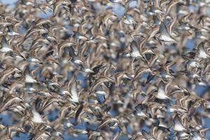 Large flock of wester sandpipers. by Ken Archer