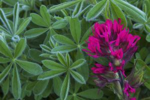 Lavender paintbrush and lupine leaves by Ken Archer