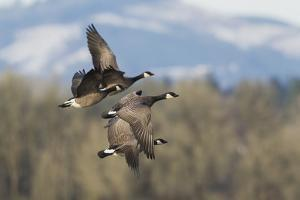 Lesser Canada geese flying. by Ken Archer