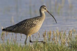 Long-billed curlew foraging by Ken Archer