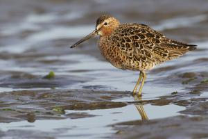 Long-billed dowitcher, tide flats by Ken Archer