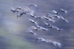 Migration flight, Canada geese by Ken Archer