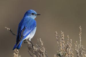Mountain Bluebird by Ken Archer