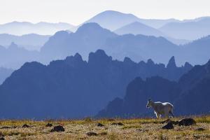 Mountain Goat, Cascade Mountain Range by Ken Archer