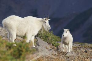 Mountain Goats, nanny and kid by Ken Archer