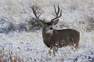 Mule Deer Buck, Late Autumn Snow by Ken Archer