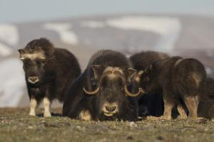 Musk ox, Arctic tundra by Ken Archer