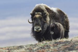 Musk Ox with Calf by Ken Archer