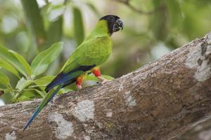 Nanday parakeet by Ken Archer