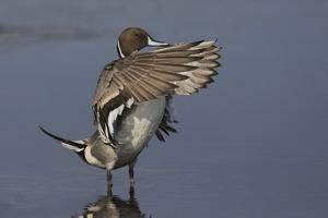 Northern Pintail Drake drying wings by Ken Archer
